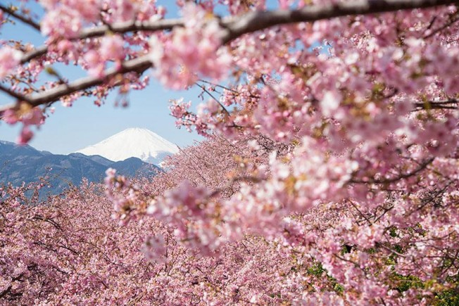 cherry-blossom-season-2014-5-652x435.jpg