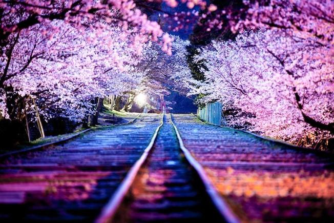cherry-blossom-season-2014-3-652x435.jpg