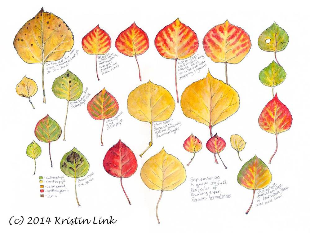 "A Guide to Fall Leaf Color of Quaking Aspen, 11 x 14"" watercolor and pen"