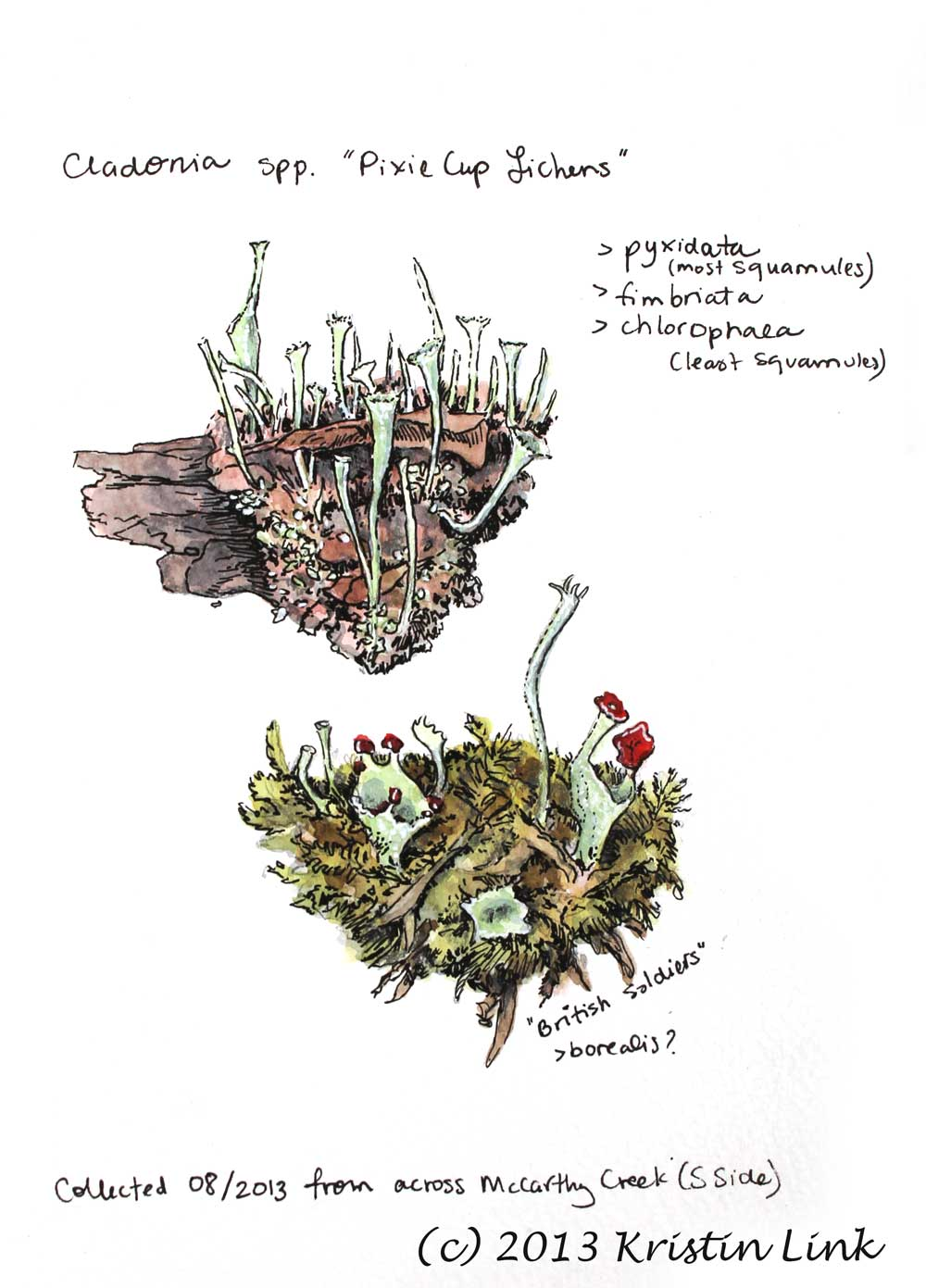 "Pixie Cup Lichens, 8.5 x 5.5"", watercolor and pen"