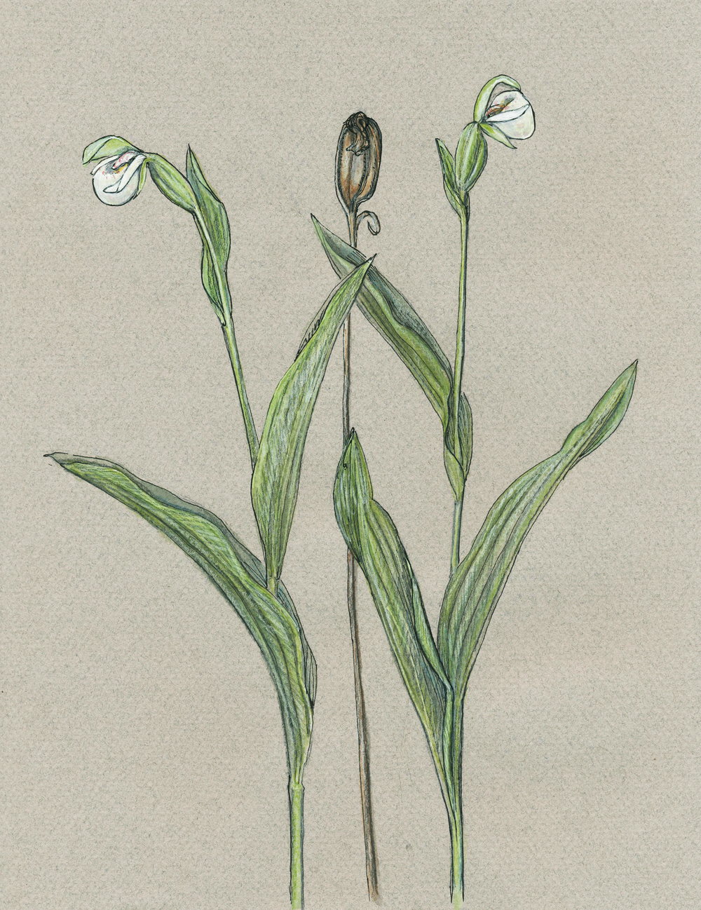 Sparrow's Egg Orchids, Gouache and pen (2014)