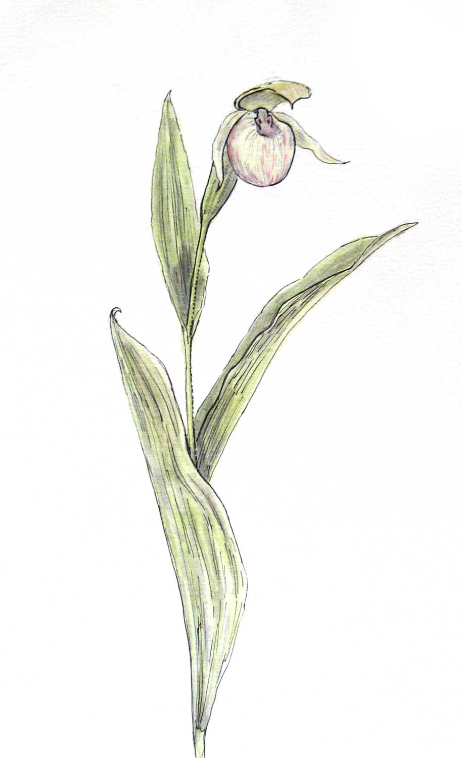Sparrow's Egg Orchid, watercolor and pen (2010)