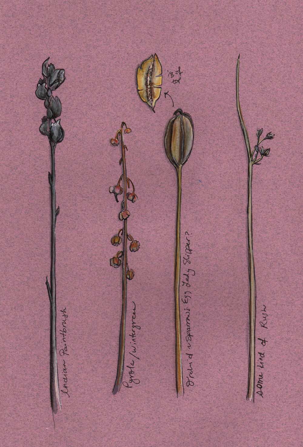 Seeds of flowers and other plants collected in the fall. The third one from the right seemed like the seed pod drawn above.  Gouache and pen (2013)