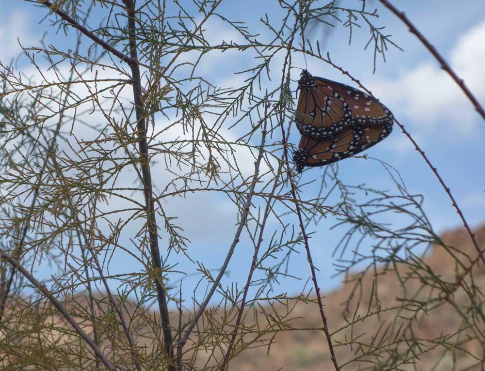 GC_monarchs.jpg