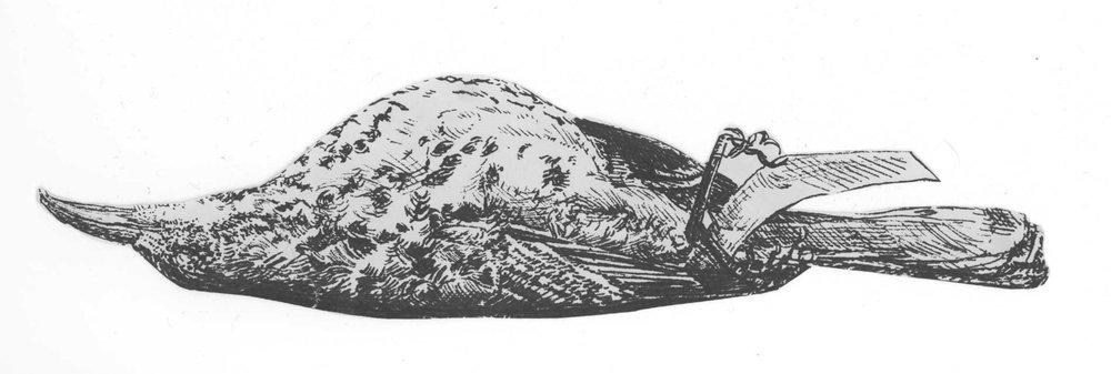 Silkscreen of a Hermit Thrush specimen on newsprint