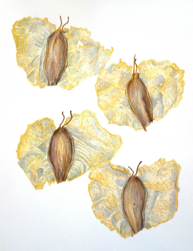 birch_seeds.jpg