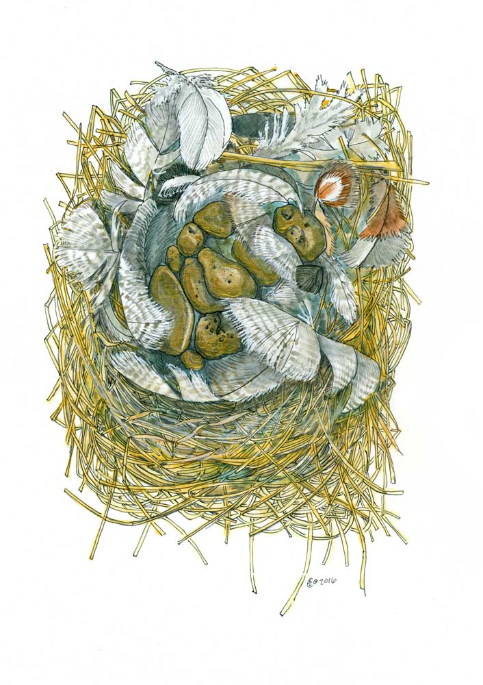 Born from a Golden Clutch - Gold nuggets in a swallow nest. Pen, watercolor, and gold acrylic on paper