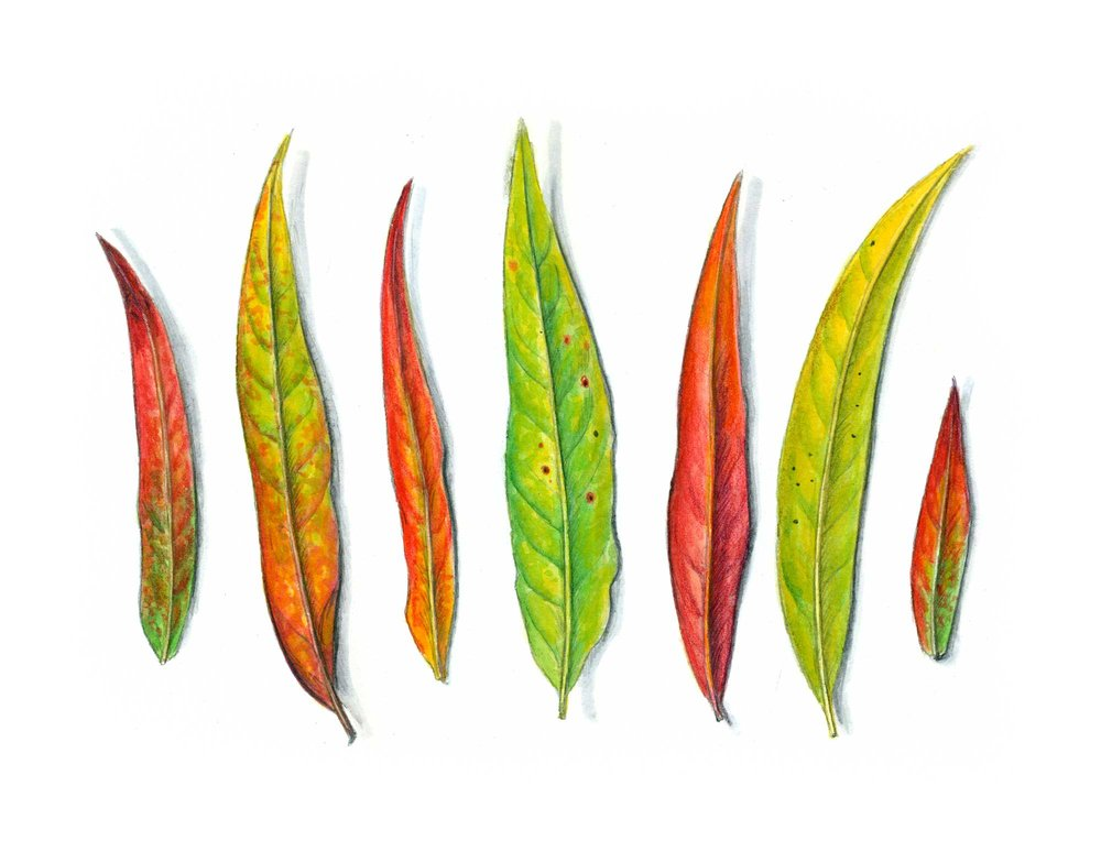 Fireweed Leaves - Watercolor and pencil