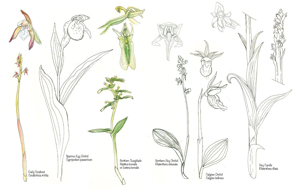 Informational Orchid studies from my nature journal in June