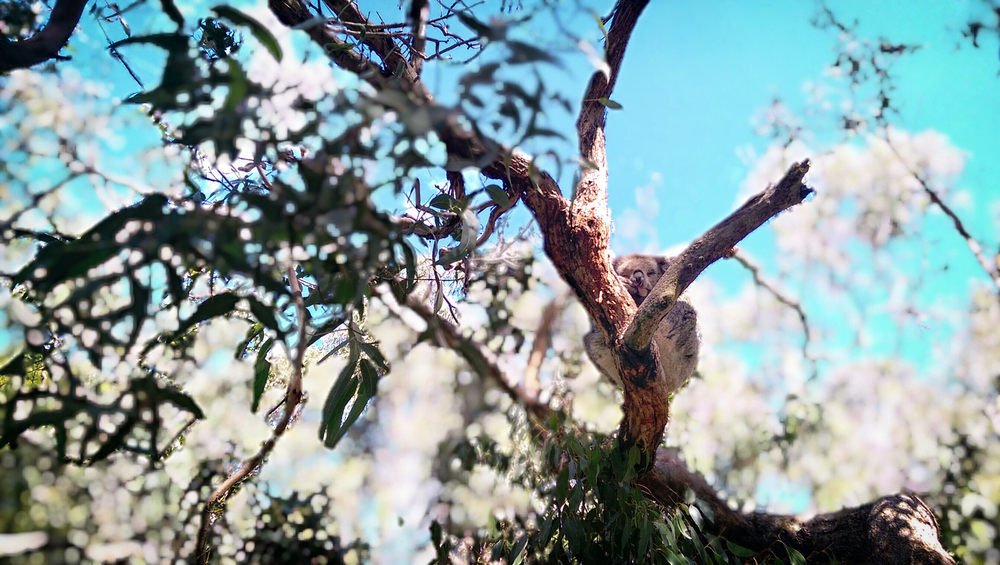 A koala with the UFocus filter applied.