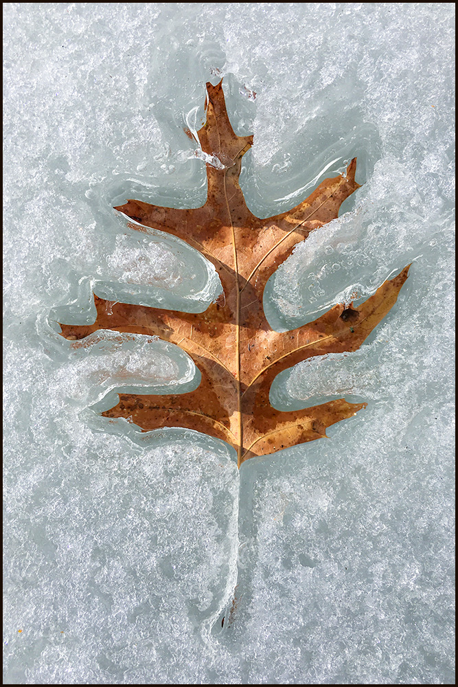 """Hot Brown Leaf on Ice"" by Eric A. Zerwas"