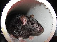 rat_pvc_pipe.jpg