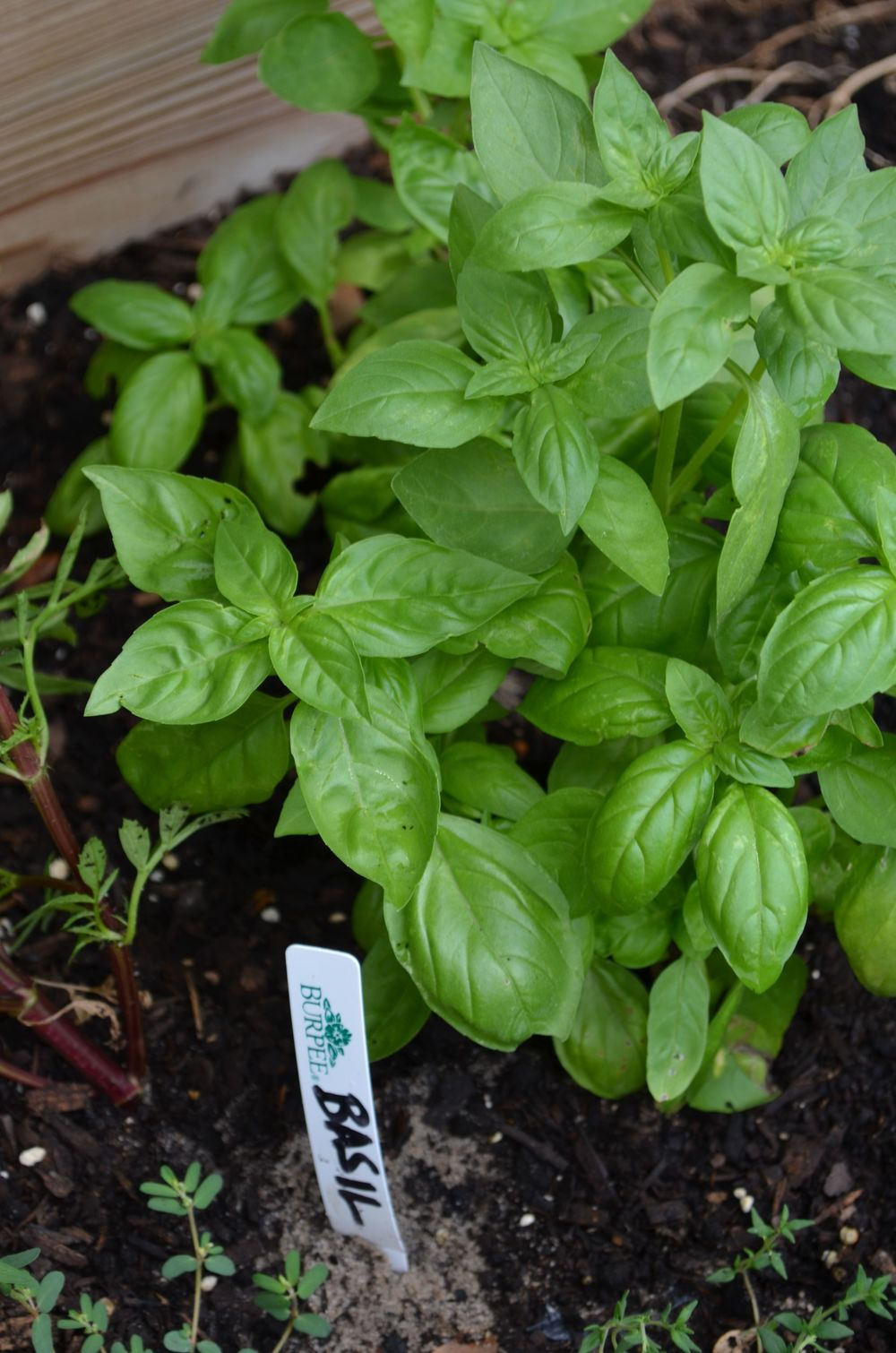 basil from seeds