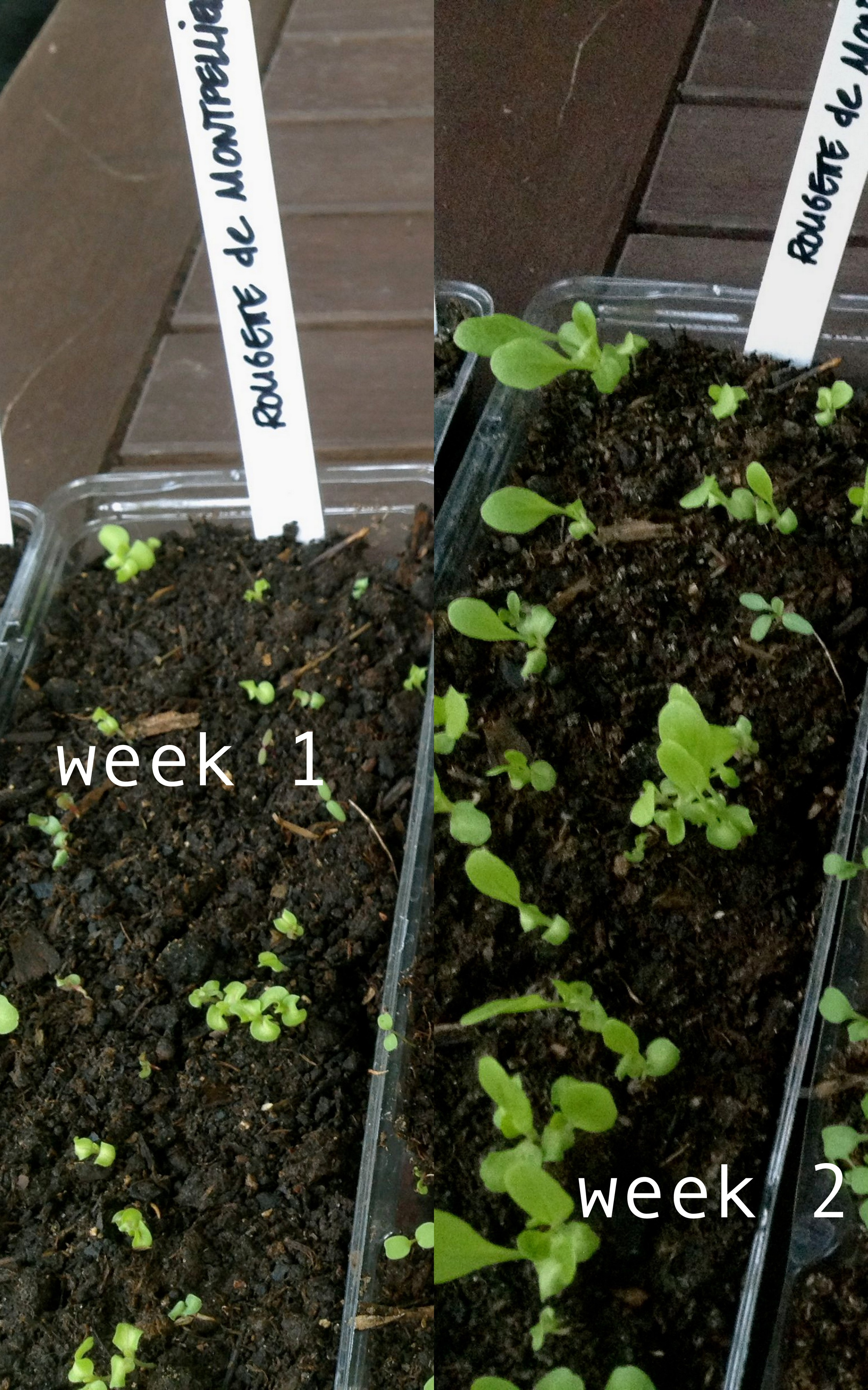 how to grow lettuce from seed video