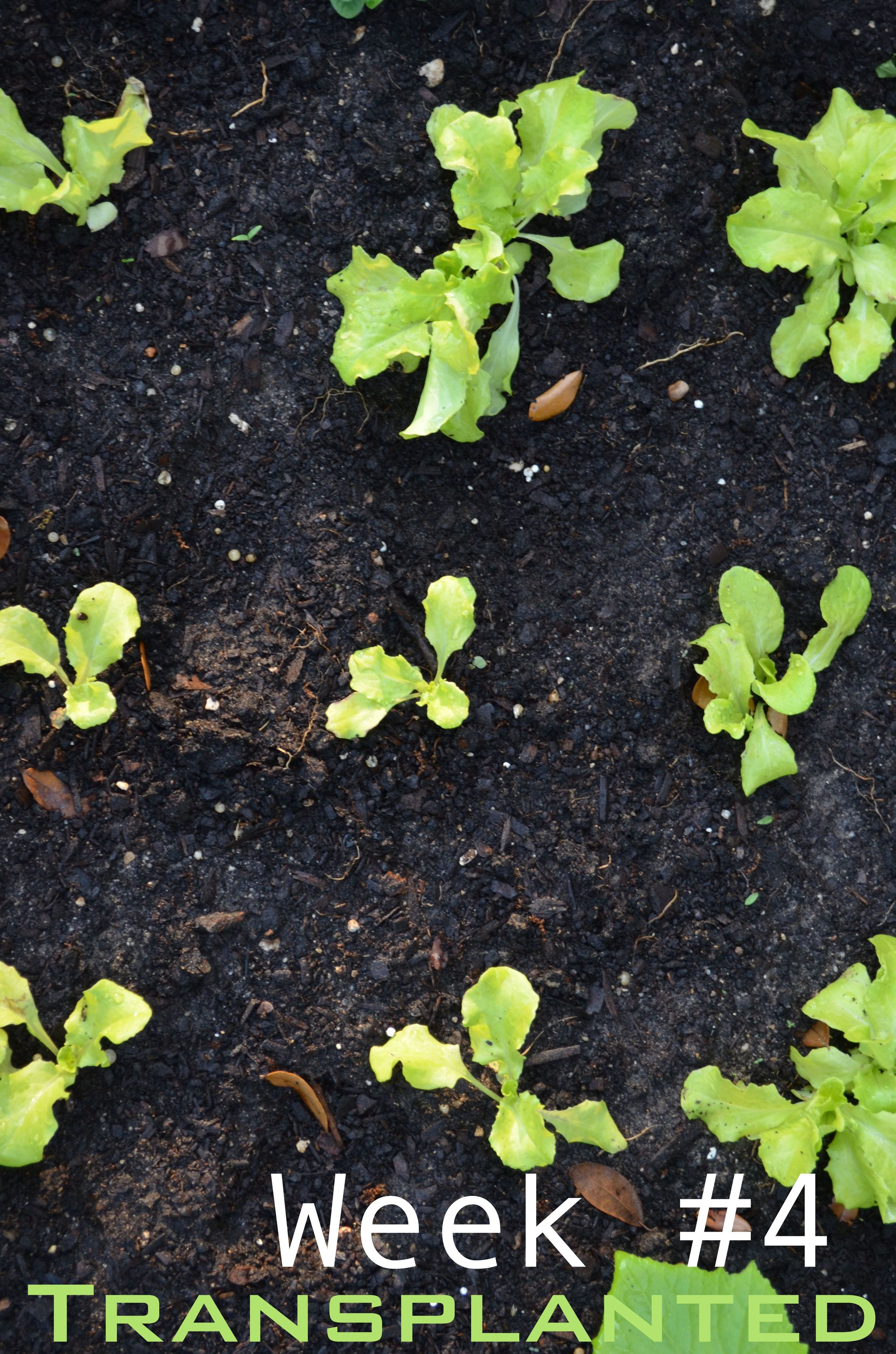 growing lettuceLettuce Growing Stages
