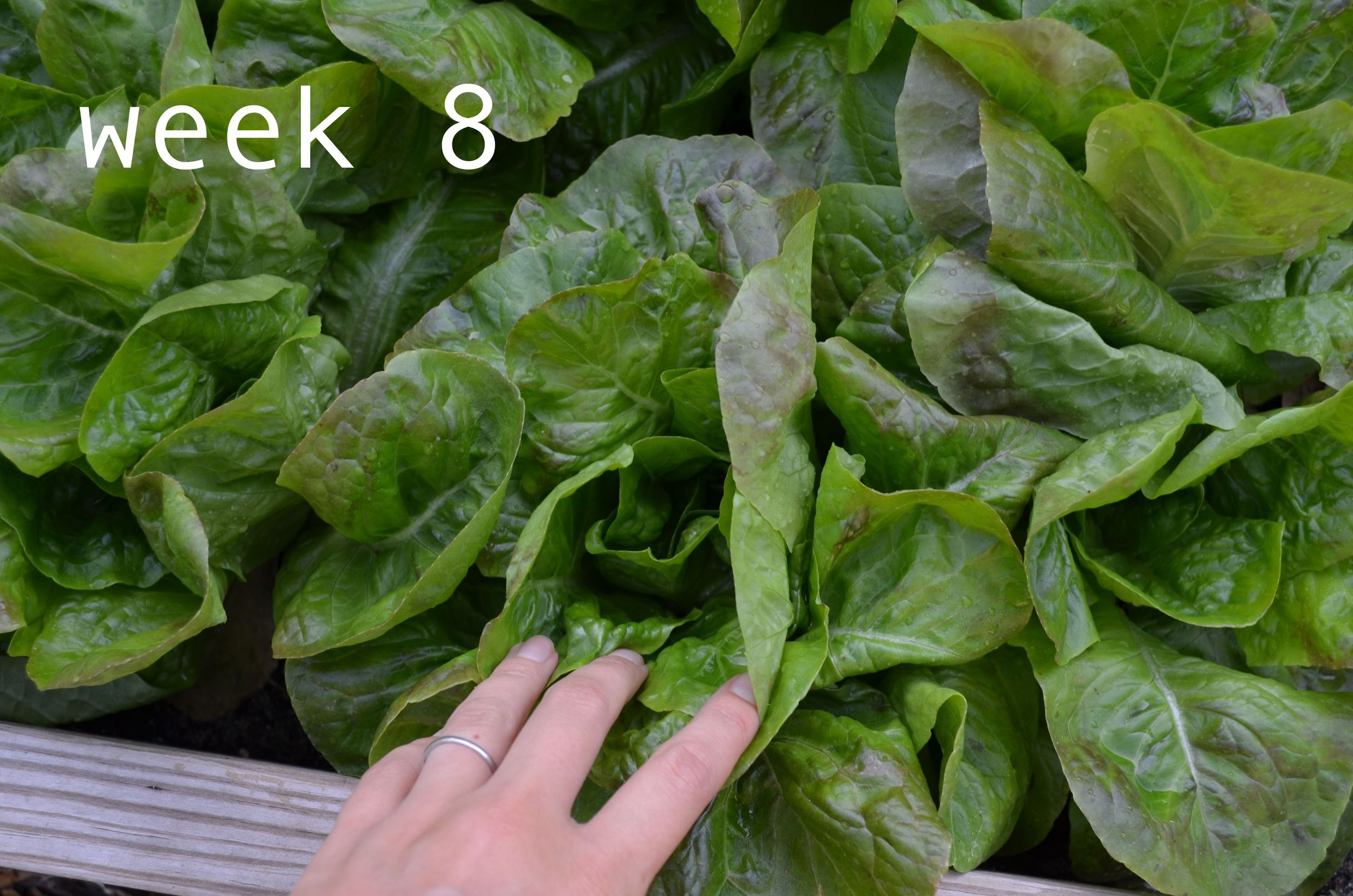 Lettuce From Seed To Harvest Ms Buena Vida
