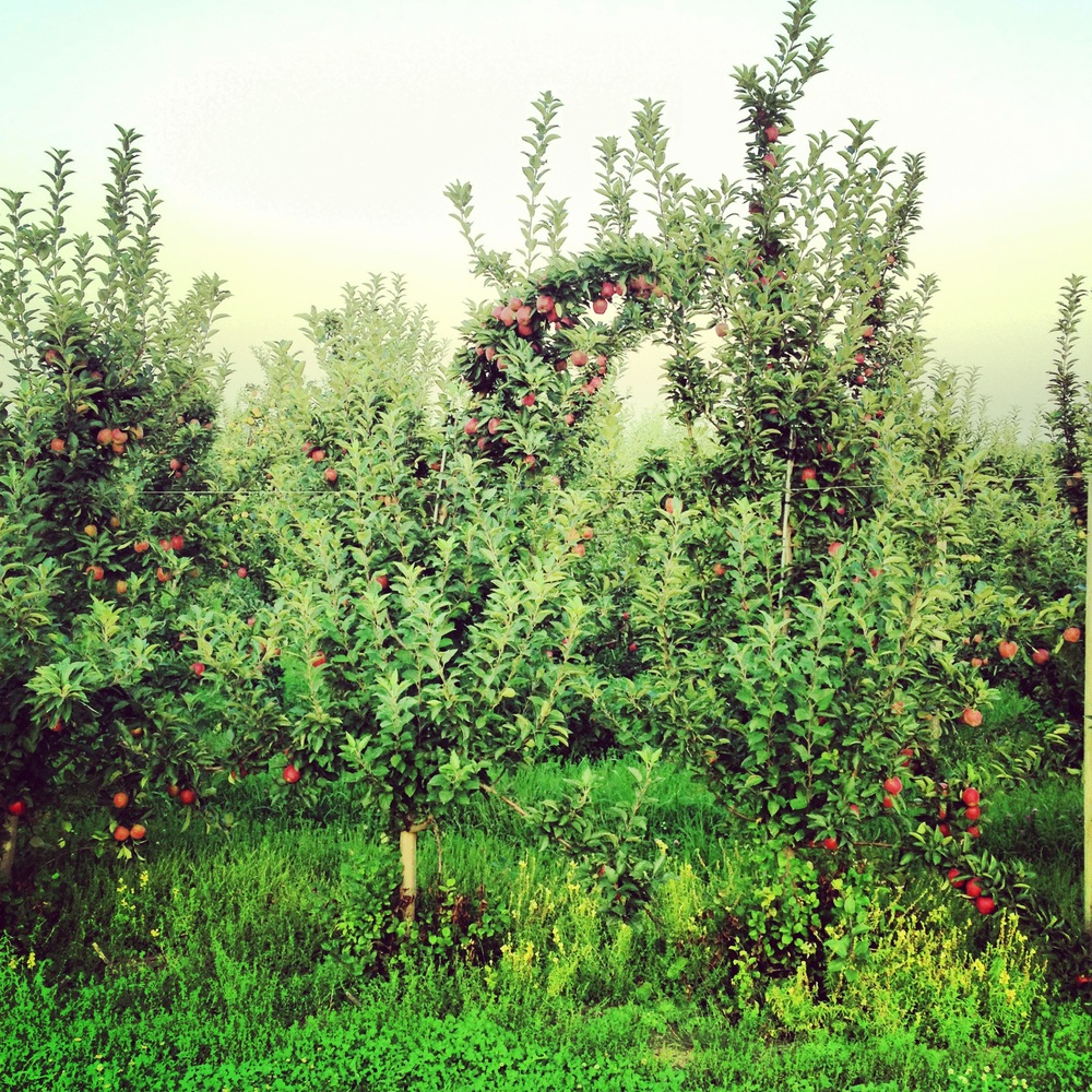 Louisa Corbett_Hudson NY_Apple Orchards_8.20.13.JPG