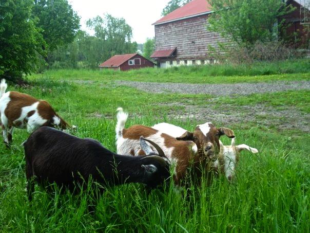 Louisa Corbett_Hudson_goats.jpg