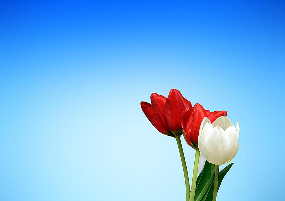 Foto gratis de tulipanes en fondo azul