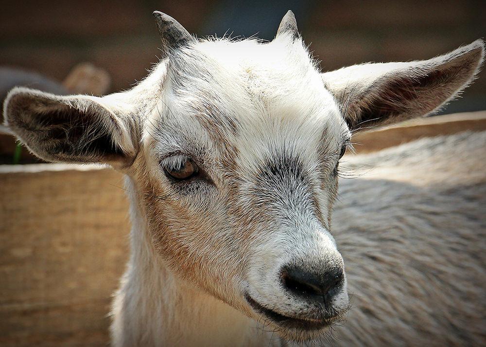 Foto gratis de cabra