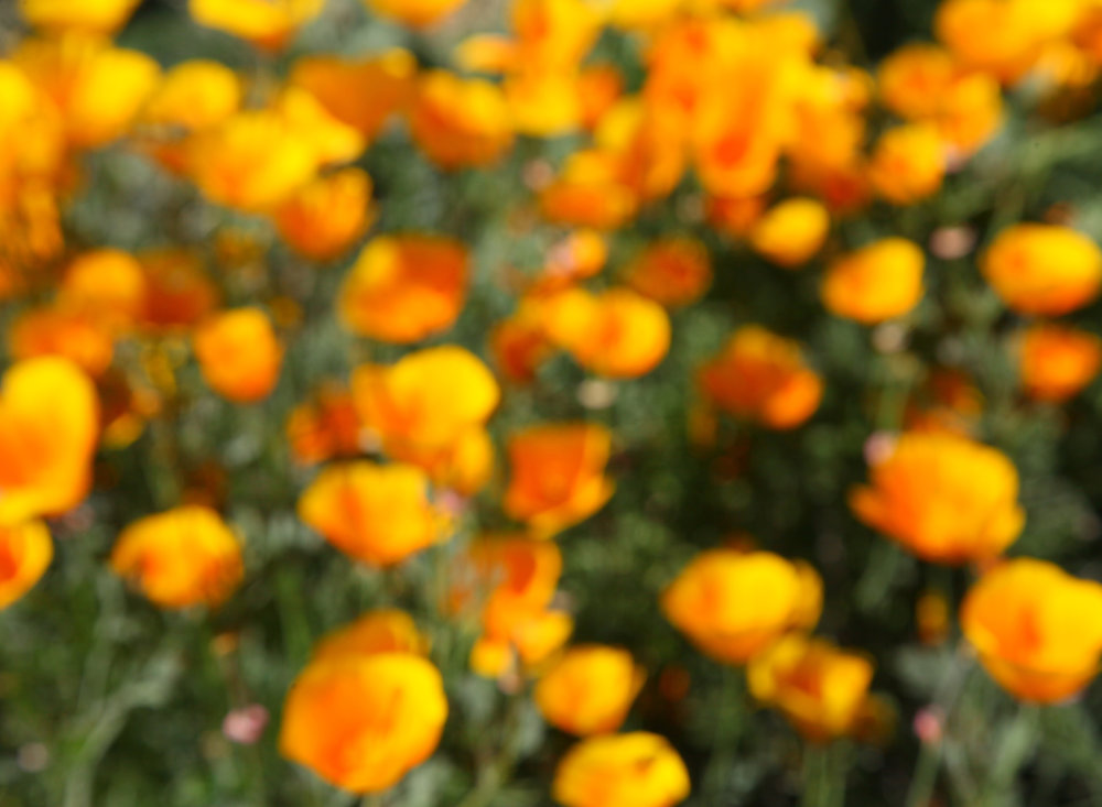 IMG_2144poppies2.jpg