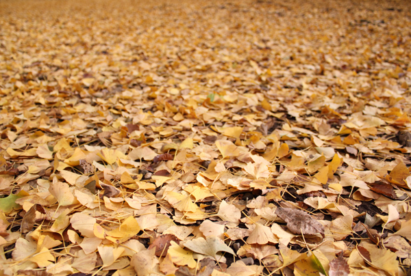 The ground through a lot of areas of the park was covered in a blanket of gold leaves.