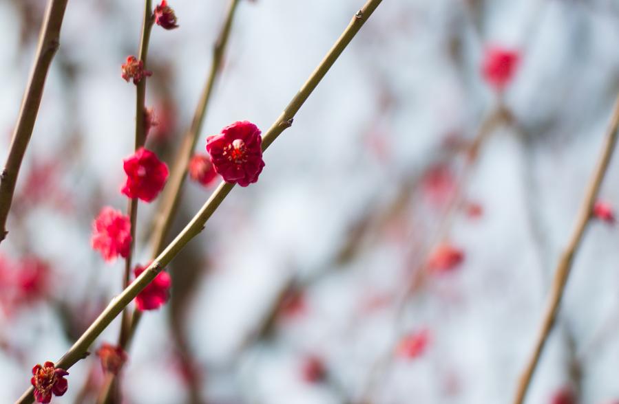 ume_blossoms_osaka
