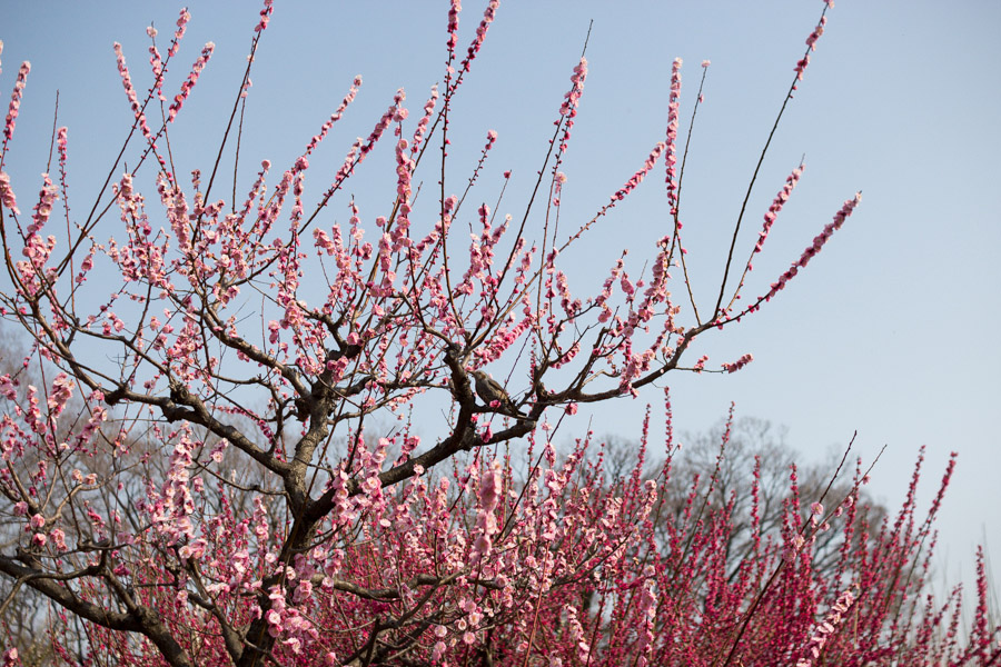 ume_plum_tree