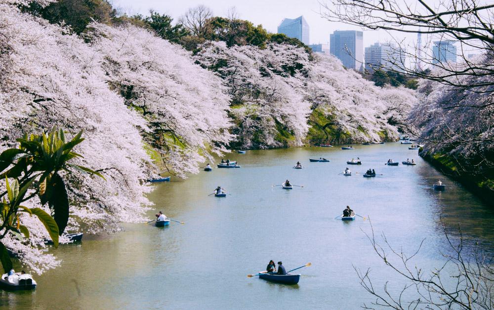 Sakura in Edo Castle Kanal - Tokyo