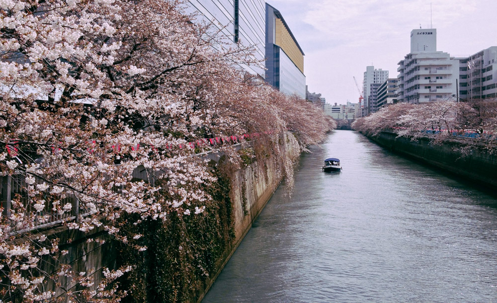 The Meguro River is one of the most popular places to see cherry blossoms in Tokyo
