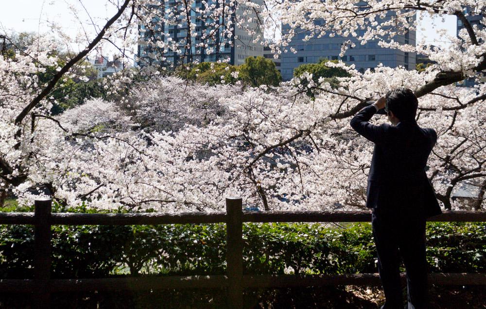 the_sakura
