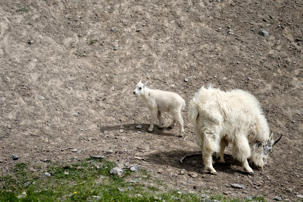 Bearded Mountain Goat and offspring