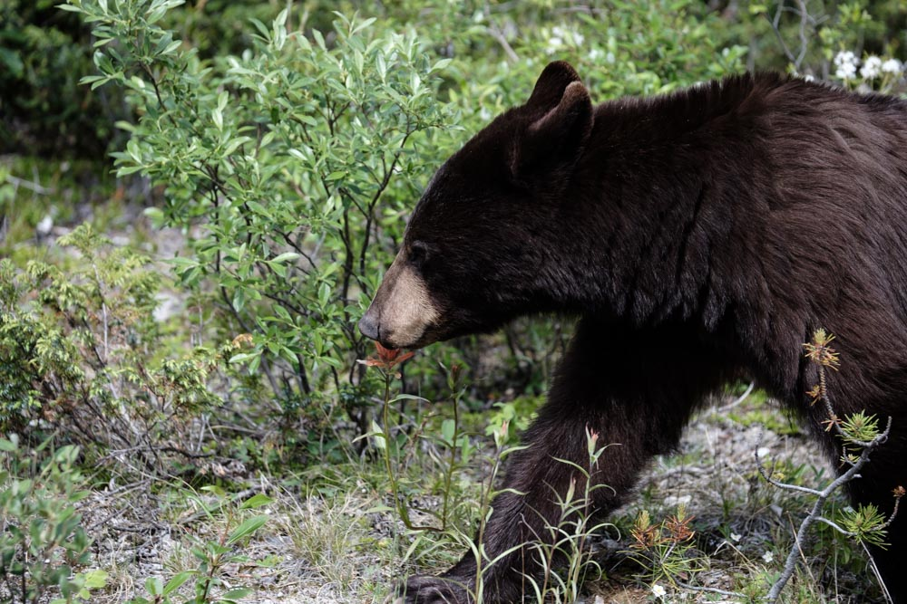 Young black bear on roadside.