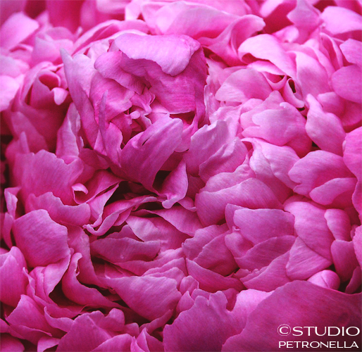%22sea of petals%22 © 2014 heather rhodes studio petronella all rights reserved 500pxh ©.jpg