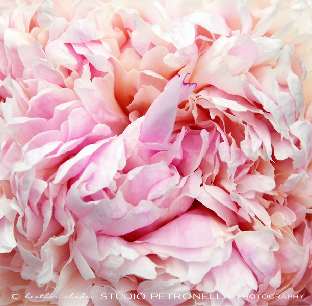 peony 12 words to a sister © 2014 heather rhodes studio petronella all rights reserved