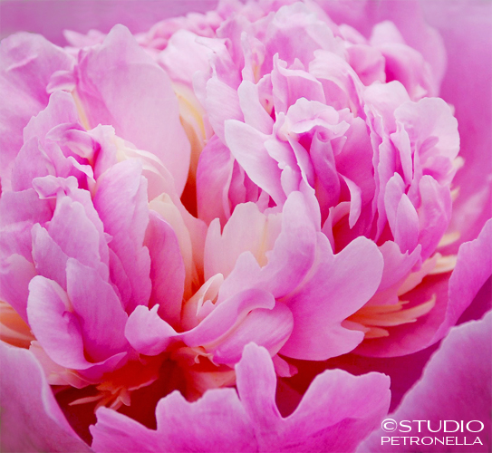 %22peony bliss%22 2 © 2014 heather rhodes studio petronella all rights reserved.jpg