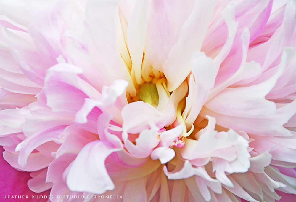 peony 5 2015 summer © heather rhodes studio petronella all rights reserved.png