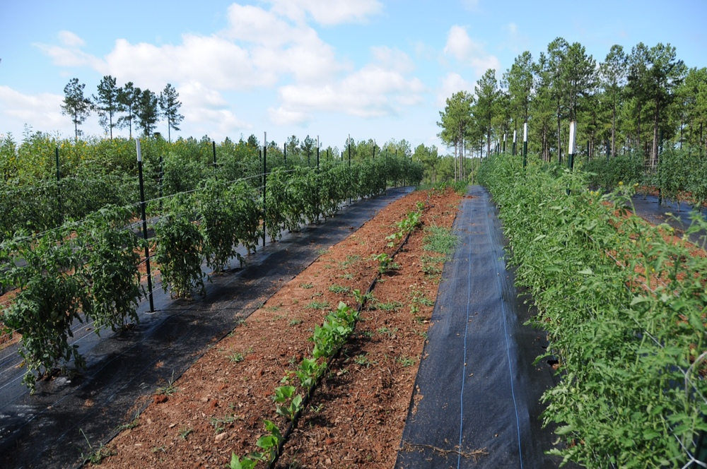 100' rows of tomatoes and green beans growing under the summer sun