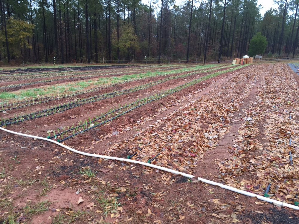 Lines of drip irrigation run down each row, delivering water right where it's needed with very limited evaporation and no run-off due to the slow method of delivery. Here they are easy to see between the lines of newly transplanted Onions which will overwinter in the ground to get a head start in spring. You can also see two rows covered in fallen leaves; this natural mulch helps to protect the soil over just-planted Garlic cloves, which will soon sprout and shoot through their leafy blanket to surpass the onions in size before also going dormant until warm weather returns.