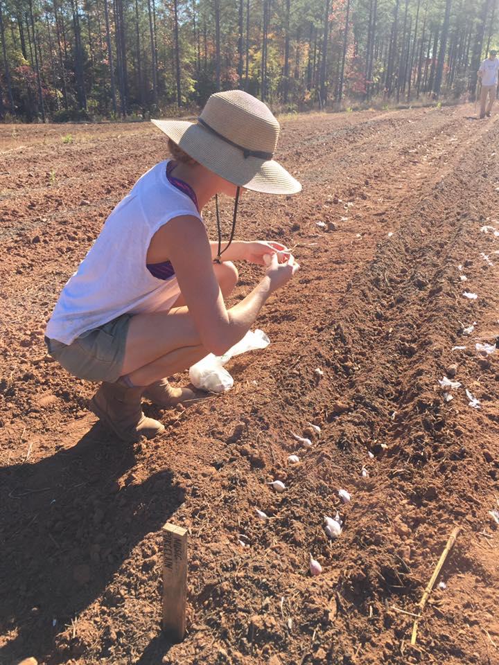 garlic planting.jpg