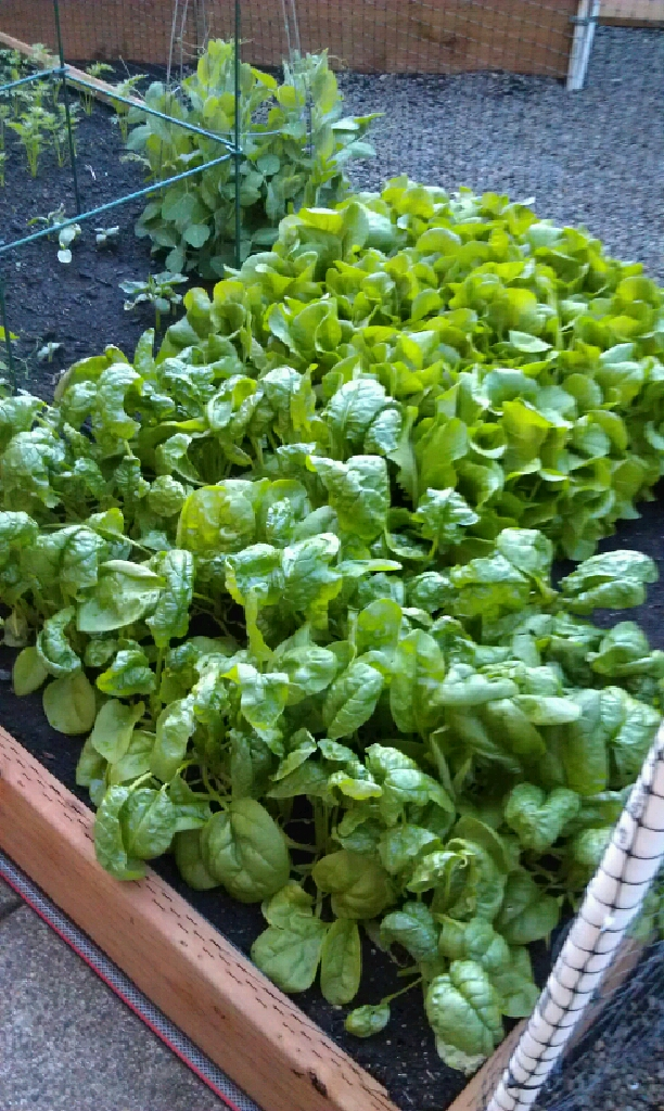 Garden Fresh Spinach