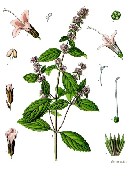 Mentha piperita  - peppermint