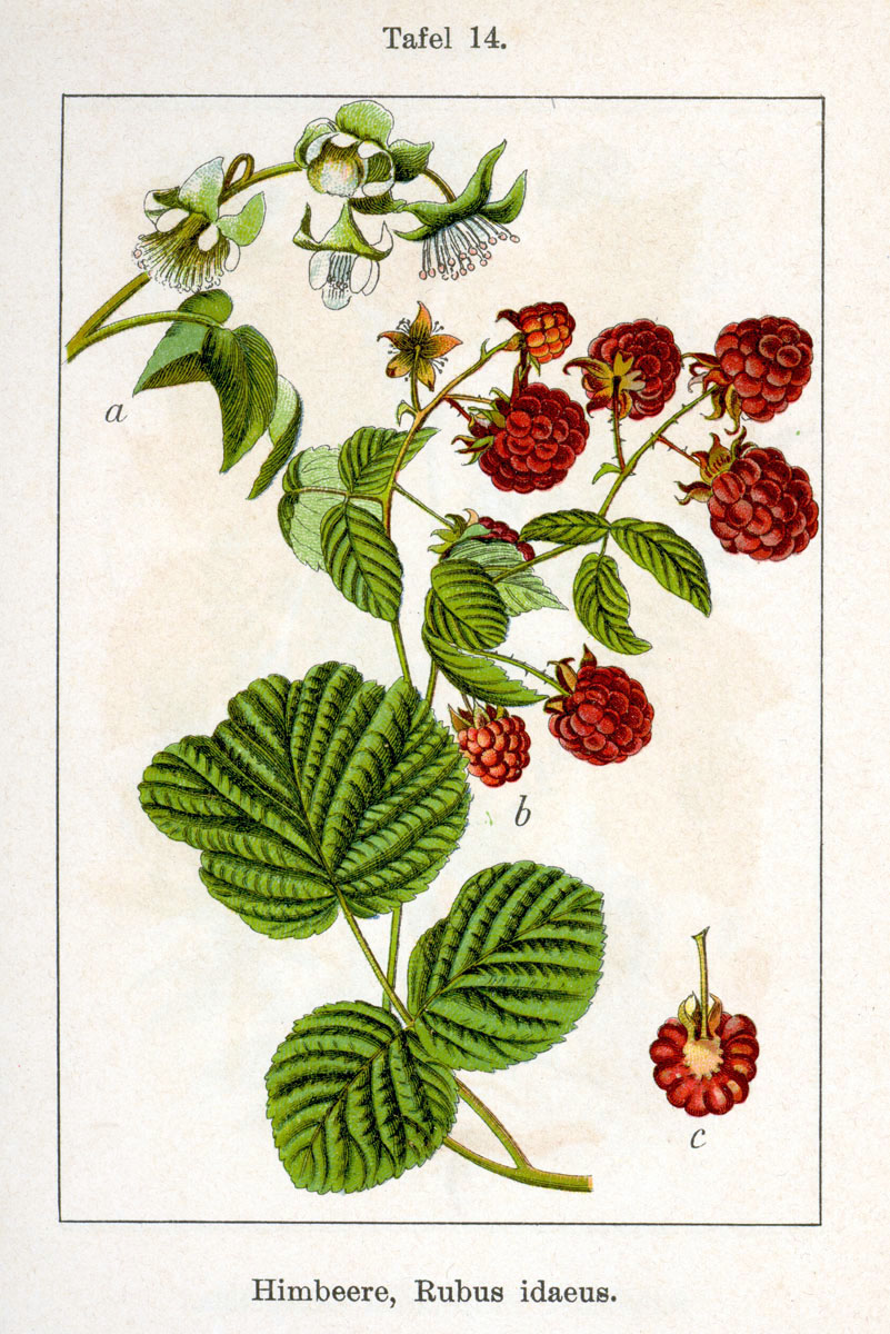 Figure 14 from Deutschlands Flora in Abbildungen, 1796