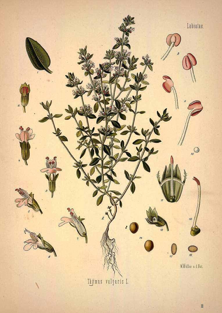 Thymus vulgaris - Köhler's Medizinal Pflanzen