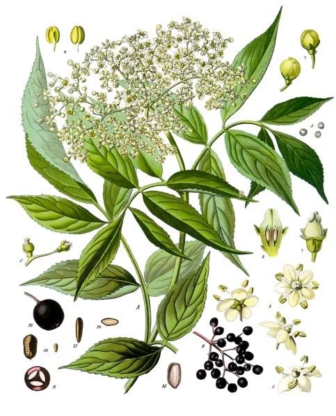 Franz Eugen Koehler, Koehlers Medizinal-Pflanzen in naturgetreuen Abbildungen und kurz erläuterndem Texte (1883-1914), Gera - Germany