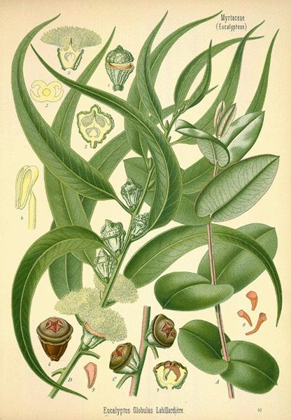 Eucalyptus globulus, from Franz Eugen Köhler's Medizinal-Pflanzen 1887