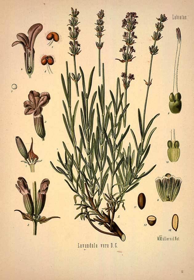 lavandulaangustifolia.jpg