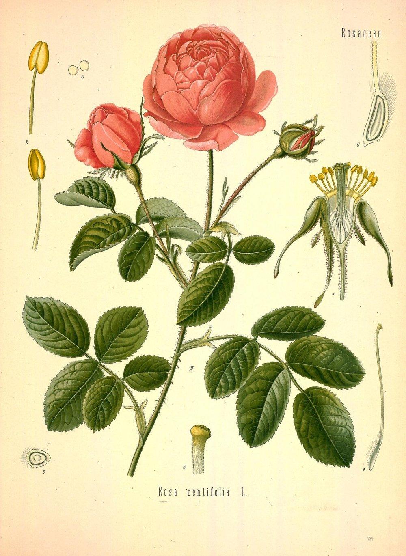 """ Rosa centifolia "" from Medizinal-Pflanzen by Franz Eugen Köhler (1887)"