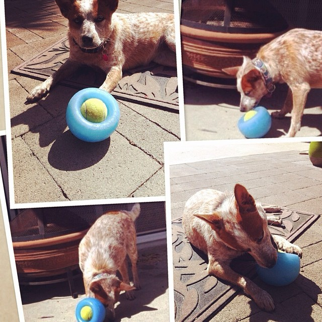 New Planet Dog toys are in stock!  Fun new stuff for busy dogs.