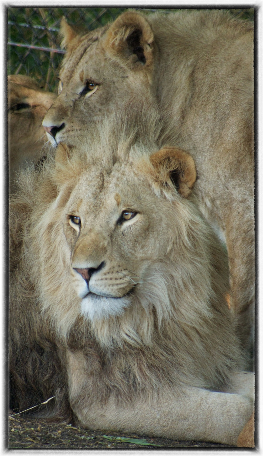 Longleat Lions, 2013 OM-D Lumix 45-200mm